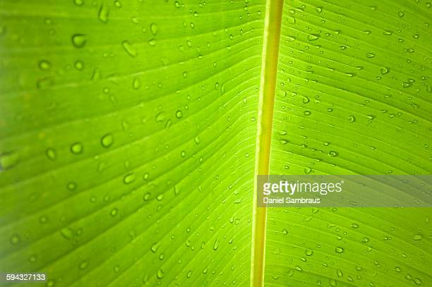 Banana leaf with rain drops