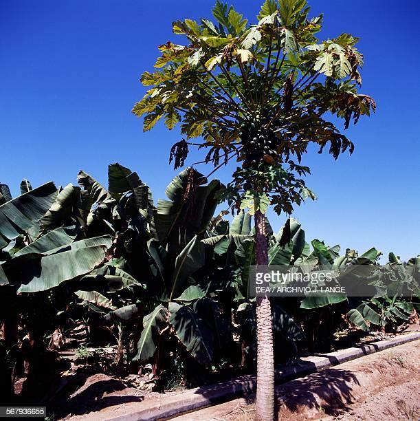 Banana plantation near Salalah Oman