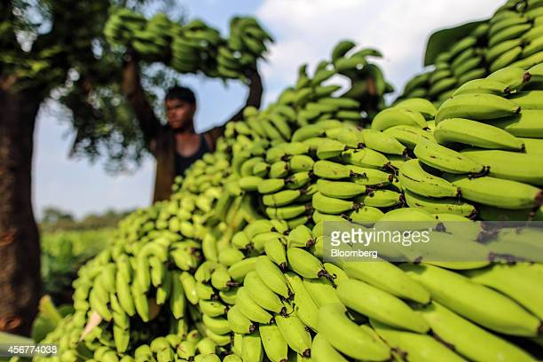 Banana stems sit stacked on the ground during a harvest in Bhusawal Maharashtra India on Saturday Oct 4 2014 More than 75 percent of India got normal...