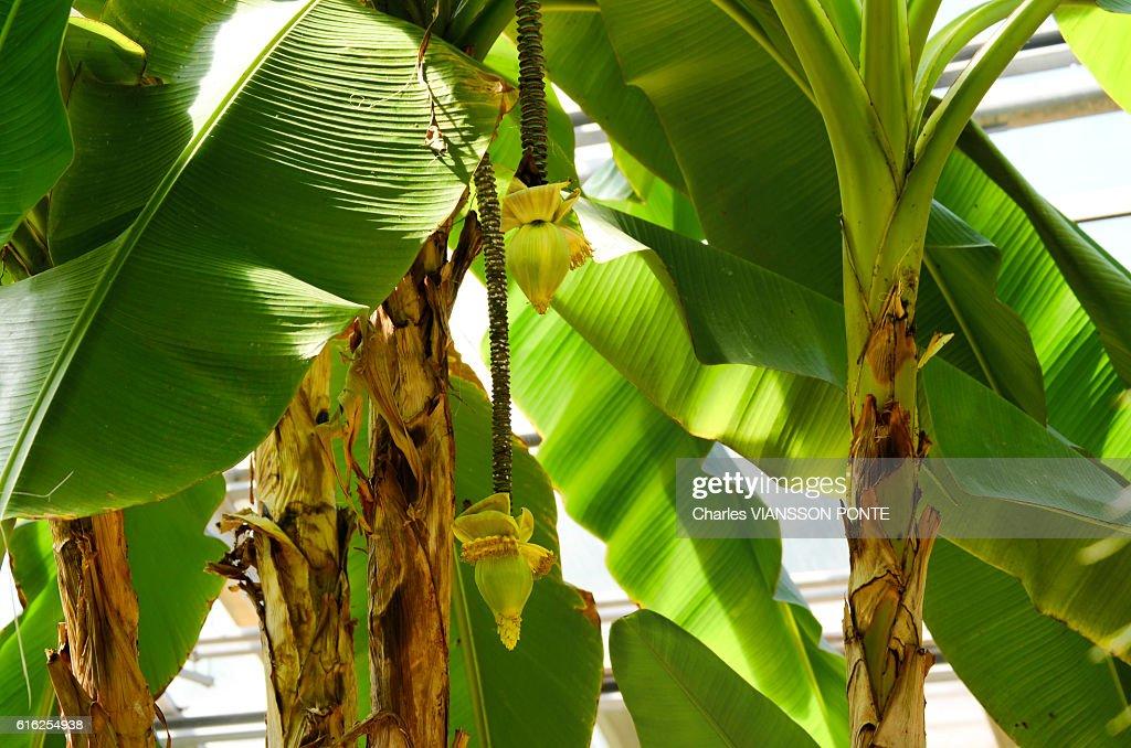 Bananier du Japon : Foto de stock