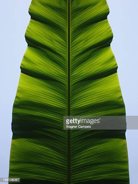 Banana tree leaf