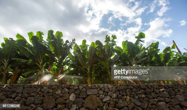 Banana trees are watered by irrigation in a farm in El Remo near Tazacorte on the Canary Island of La Palma on September 12 2017 / AFP PHOTO /...