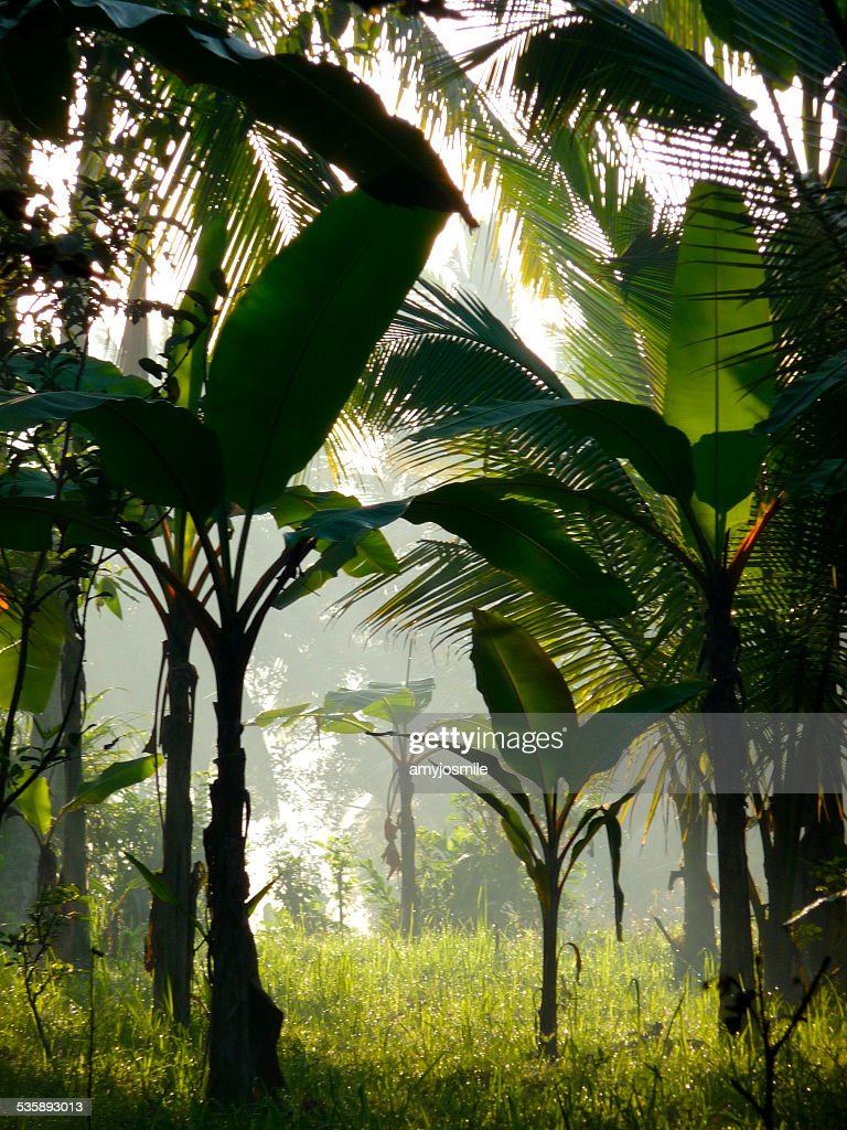 Banana trees in the sunlight. : Stock Photo