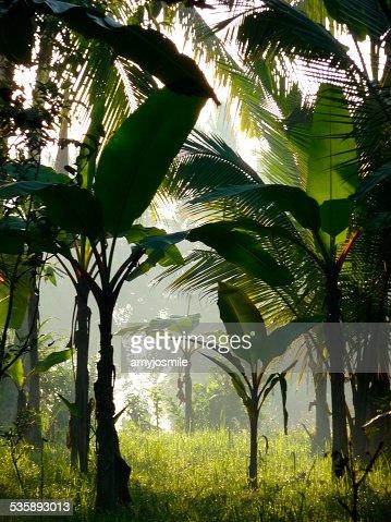 Banana trees in the sunlight. : Stock Photo