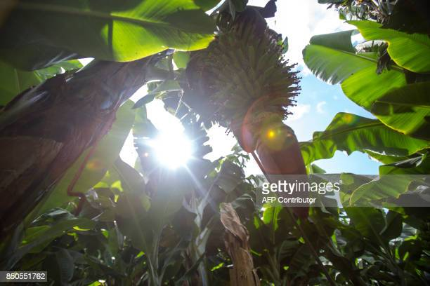 Bananas trees are pictured at a plantation in Los LLanos de Aridane on the Spanish Canary Island of La Palma on September 12 2017 / AFP PHOTO /...