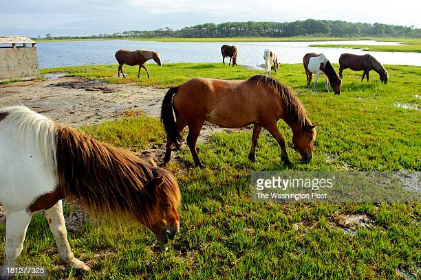 A band of horses grazes in the marsh at the Assateague Island National Seashore in Berlin MD on the morning of August 20 2013 Bands are made up of...