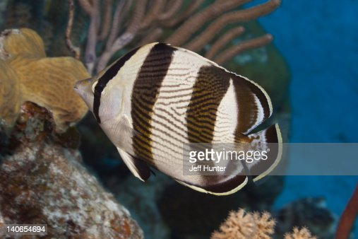 Banded Butterflyfish on tropical coral reef