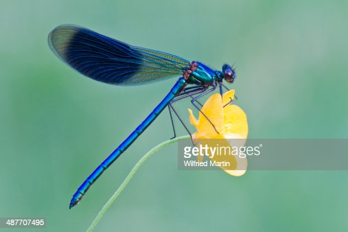 Banded Demoiselle -Calopteryx splendens-, male, perched on a Buttercup flower -Ranunculus-, North Hesse, Hesse, Germany
