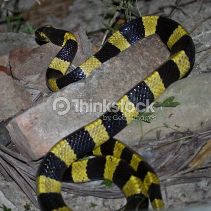 geb nderte krait snake specie bungarus fasciatus in nepal stock foto thinkstock. Black Bedroom Furniture Sets. Home Design Ideas