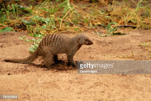Banded mongoose (Mungos mungo) digging in a forest, Chobe National Park, Botswana : Stock Photo