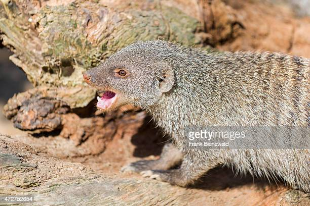 Banded Mongoose is sitting on a rock with mouth wide open