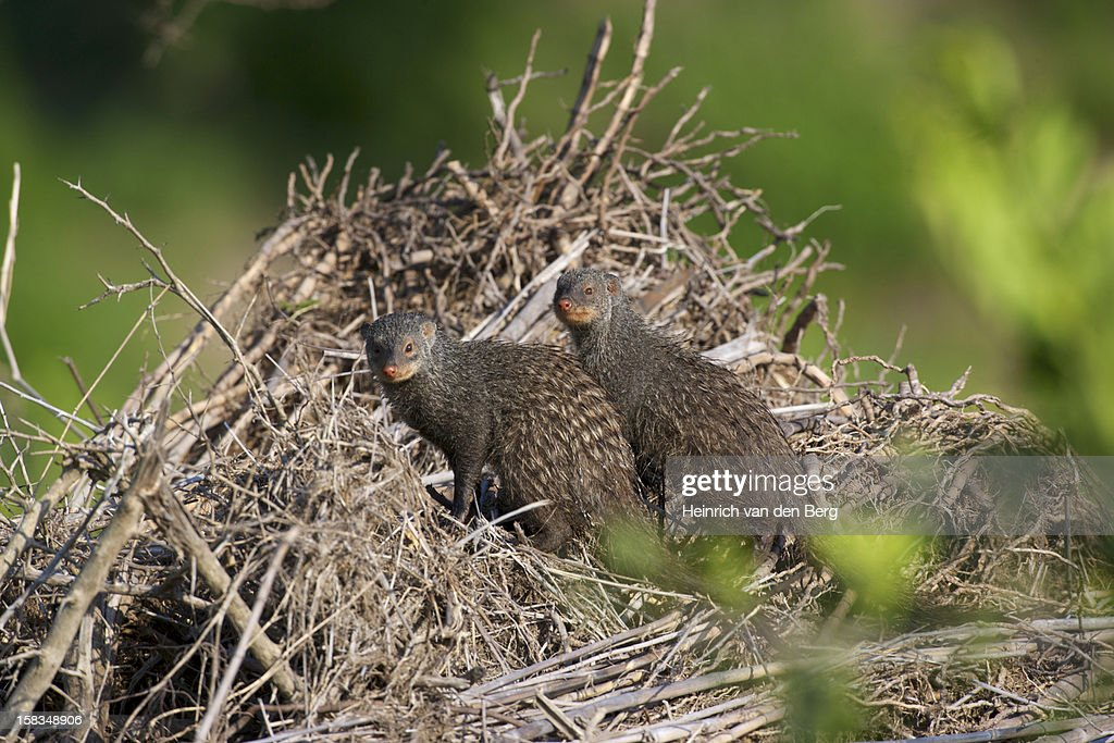 Banded Mongoose pair : Stock Photo