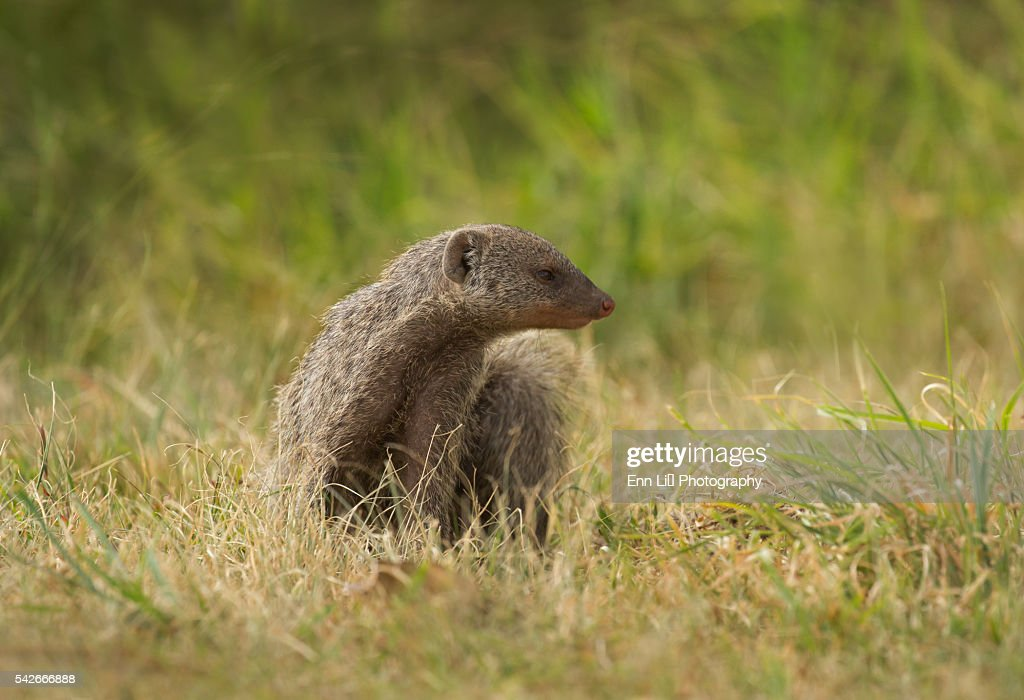 Banded Mongoose