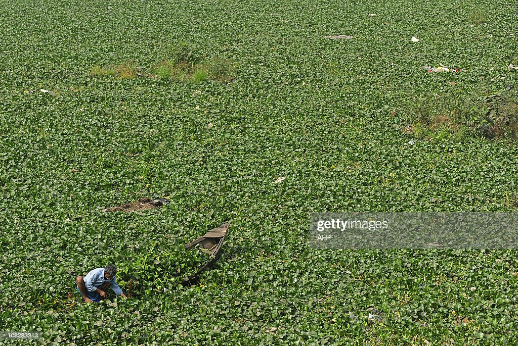 A Bangladeshi man collects water hyacinths in Dhaka on January 18, 2011. Bangladesh is one of the poorest nations in the world with 40 percent of its population living with less with than 1 US Dollar a day. AFP PHOTO/ Munir uz ZAMAN