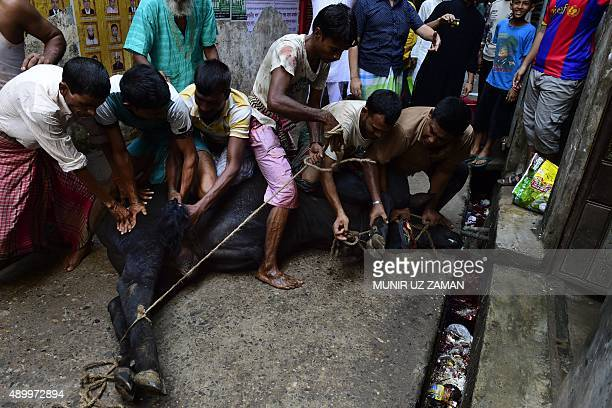 Bangladeshi Muslims prepare cattle for sacrifice during Eid alAdha in Dhaka on September 25 2015 Muslims across the world celebrated the annual...