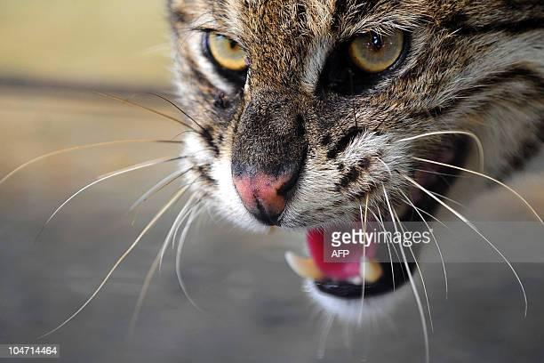 BangladeshwildlifeconservationFEATURE BY SHAFIQ ALAM This photo taken on July 25 2010 shows a fishing cat at a private zoo run by Bangladeshi...