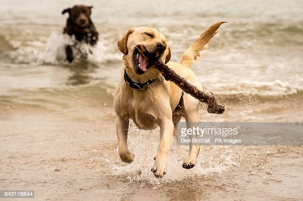 Banjo the 10monthold Yellow Labrador and Coco the tenyear old Chocolate Labrador play in the sea at Tenby West Wales where mild temperatures have...