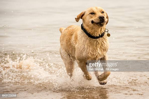 Banjo the 10monthold Yellow Labrador plays in the sea at Tenby West Wales where mild temperatures have attracted visitors to the area as unseasonably...