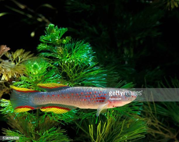 Banner lyretail Aphyosemion calliurum in aquarium Freshwater tropical species grows to 5 cm Native to Gabon Africa