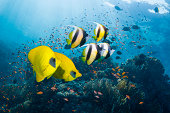 Bannerfish and butterflyfish