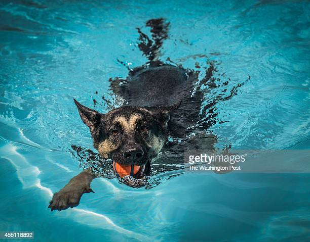 Banten a 3 year old German Shepherd swims with a ball in his mouth at Randall pool in SW as the District opens a few public pools to dogs before...