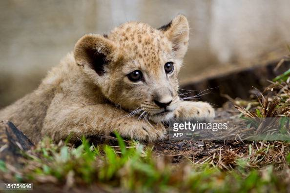 Bantu a lion cub born in captivity two months ago is seen at the zoo in Cali department of Valle del Cauca Colombia on October 25 2012 AFP PHOTO/Luis...