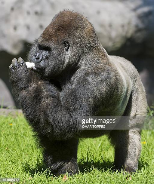 Bantu a Silverback gorilla drinks a yogurth at the Chapultepec zoo in Mexico City on January 09 2014 AFP PHOTO/OMAR TORRES