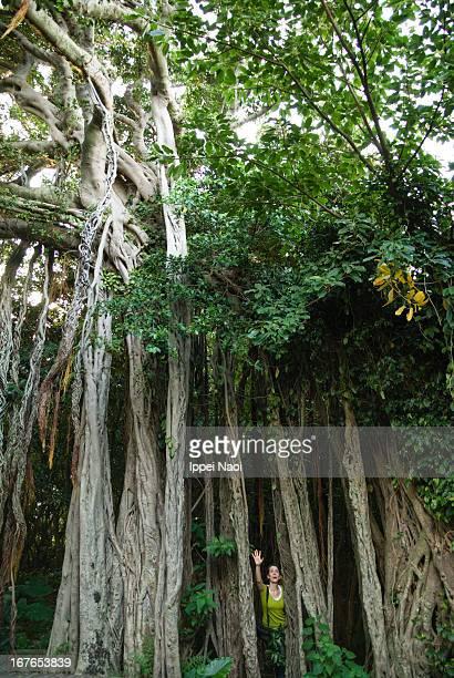 Banyan fig tree in jungle, Yakushima, Japan