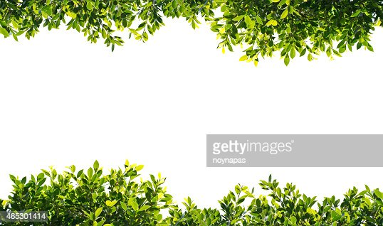 Banyan Green Leaves Isolated On White Background Stock