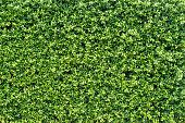 banyan green leaves wall