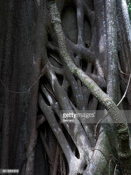 Banyan or Bengal Fig -Ficus benghalensis-, strangler fig, Las Pailas, Ricon de la Vieja National Park, Province of Guanacaste, Costa Rica, Central America
