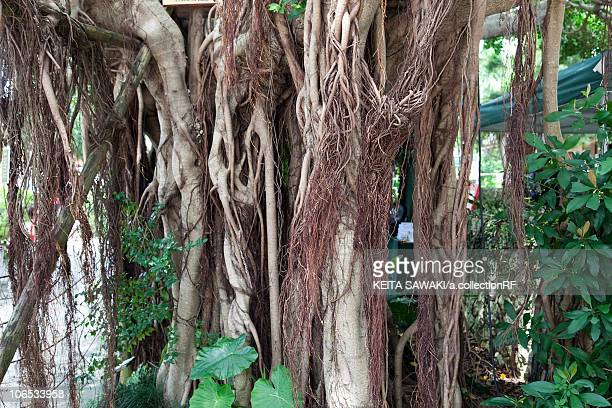 Banyan Tree, close-up, Okinawa Prefecture, Japan