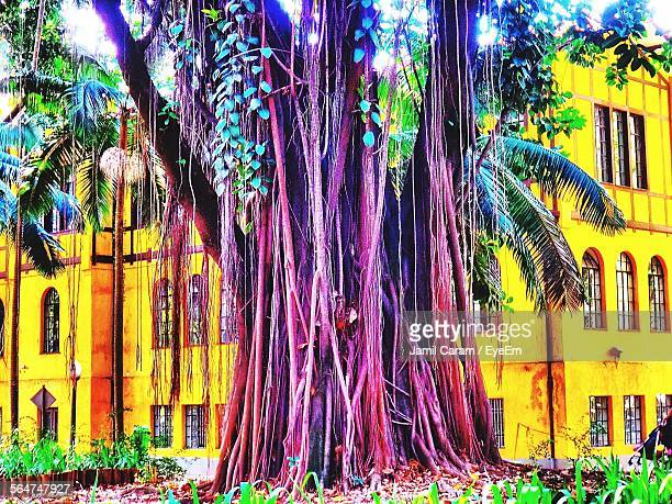 Banyan Tree Growing Against Building
