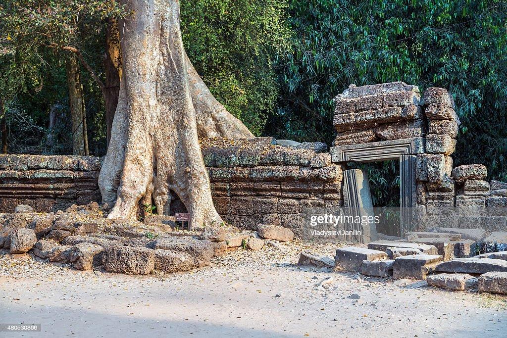 banyan tree de ruines d'Angkor Wat, Siem Reap, Cambodge. : Photo