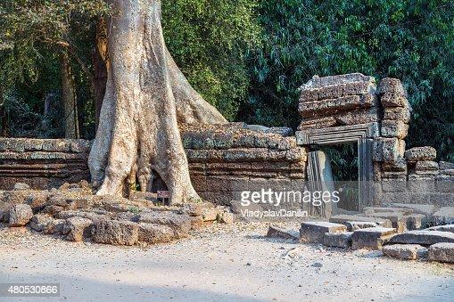 banyan tree in ruin Angkor Wat, Siem Reap, Cambodia. : Stock Photo