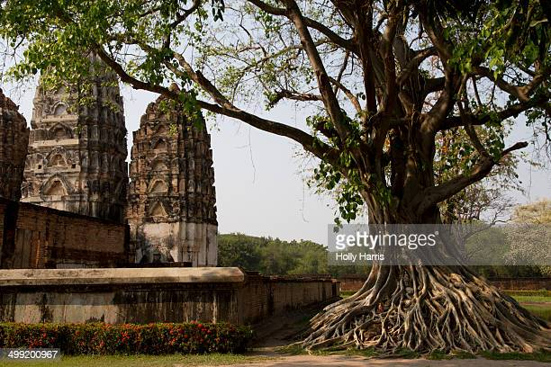 banyan tree in wat si sawai temple ruins