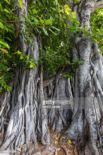 A banyan tree is a fig that starts life growing on another plant Its seeds germinate in cracks on a host tree The word banyan is occasionally used to...