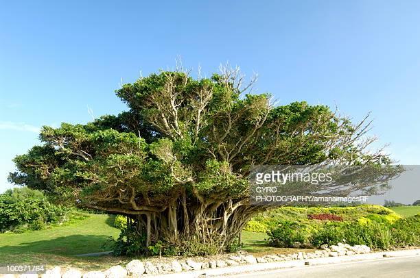 Banyan tree, Miyako island, Okinawa prefecture, Japan