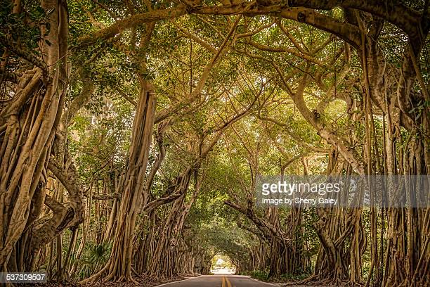 Banyan trees form living tunnel over roadway