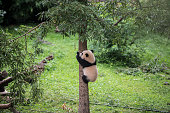 Bao Bao climbs a tree at her first birthday celebration in Giant Panda Habitat at Smithsonian's National Zoo on Saturday August 23 2014 in Washington...