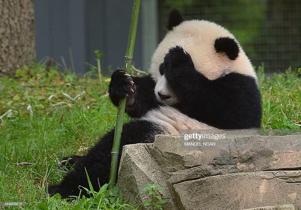 Bao Bao sits under the longevity poster during a Zhuazhou birthday ceremony on her first birthday celebration at the National Zoo on August 23 2014...
