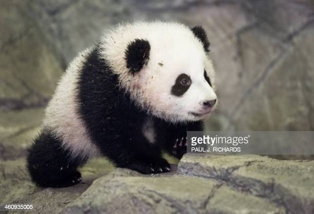 Bao Bao the Giant Panda cub is seen by the media for the first time January 6 2014 inside his glass enclosure at the Smithsonian's National Zoo in...