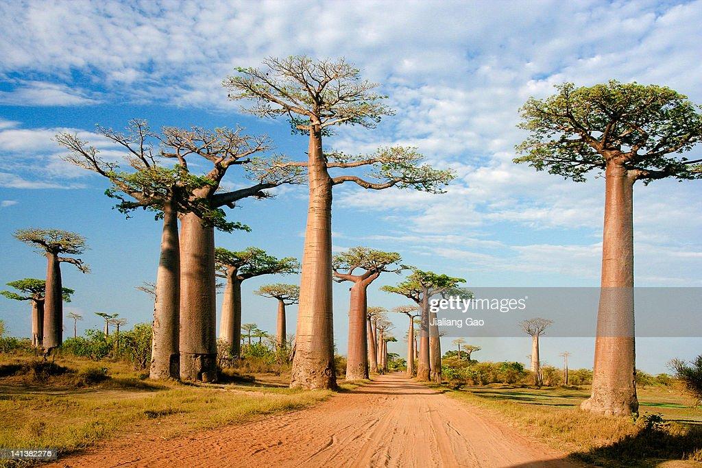 Baobab Alley, Morondava Madagasca : Stock Photo