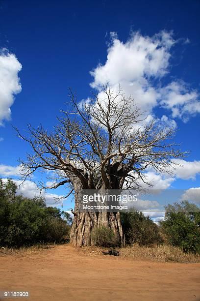 Baobab de Kruger Park, Afrique du Sud