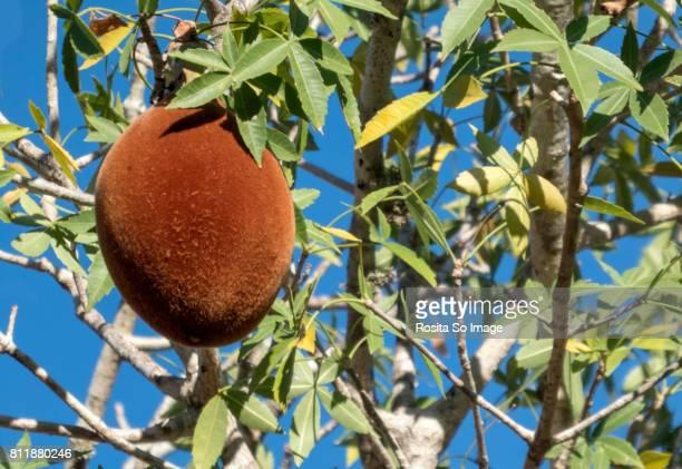 Baobab, The tree of life, Ifaty, Madagascar