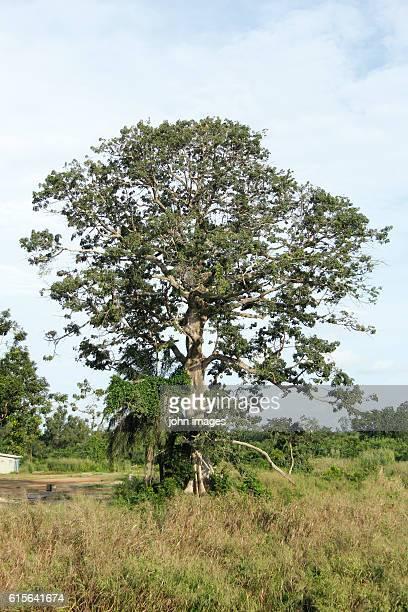 A baobab tree at the border Benin