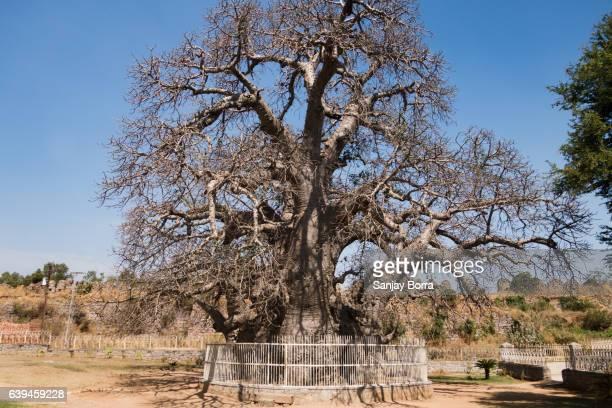 Baobab Tree INDIA
