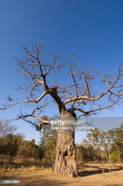 Baobab tree, South Luangwa National Park, Zambia, Africa