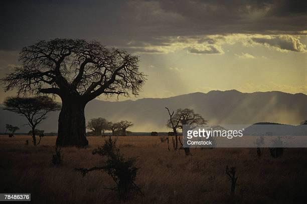 Baobab tree , Tarangire National Park , Tanzania