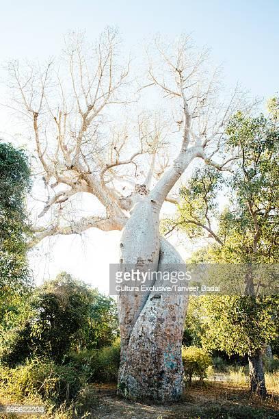 Baobab tree, Tsingy de Bemaraha National Park, Madagascar, Africa